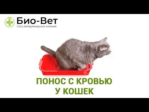 Понос с кровью у кошек. Ветеринарная клиника Био-Вет.