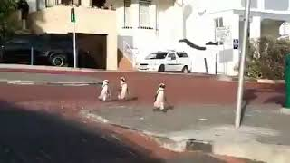 Penguins take a leisurely walk around Cape Town, South Africa during corona / covid 19 Lockdown