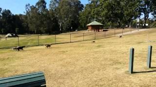 Beagles chase a remote control car
