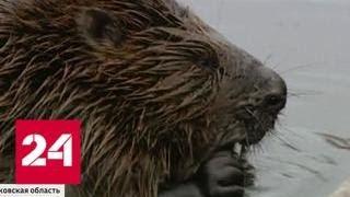 Жизнь мытищинских бобров оказалась под угрозой - Россия 24