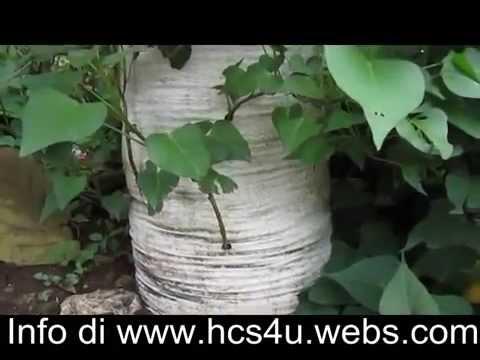 Video Cara Tanam Ketela ( Ubi Rambat ) dan jagung dalam karung