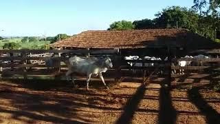 Bovino Corte Nelore Tourinho 11-15@ - e-rural Imagens