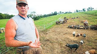 Pasture Perfect Pigs at Scale (400+)