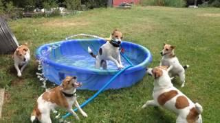 Jack Russell Terriers Play In Kiddie Pool
