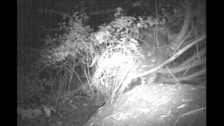 preview picture of video 'Badgers at Brandon Marsh Nature Reserve - 28/09/2012 to 01-10/2012'