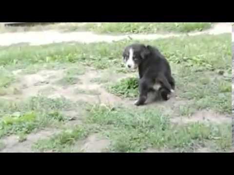 Toledo Ohio Puppies boy 1 (only 2 boys left)