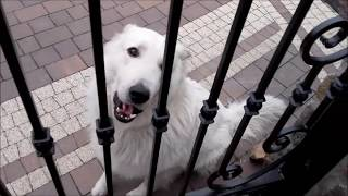 Przyjazny, biały Owczarek (Friendly, white Shepherd)