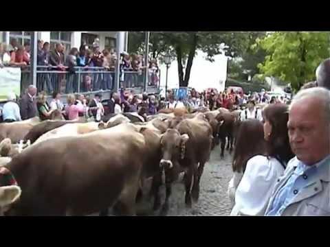 Almabtrieb Im Herbst, hunderte Rinder gehen zurück in den Stall