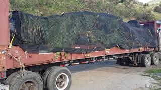 Soggy Dollar Coconut Palm Trees