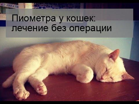 Пиометра у кошек: лечение без операции