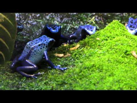 Lots of Blue Poison Dart Frogs Go To Town On Some Insects For Lunch