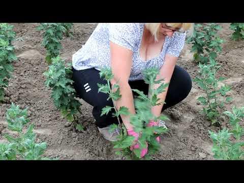 Уход за хризантемами. Пасынкование крупноцветковой хризантемы.