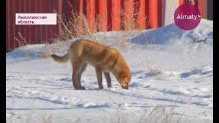Близ Астаны массово отстреливают бродячих собак (20.02.18) | Kholo.pk