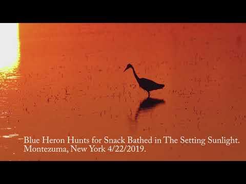 Blue Heron Baths in Evening Sunlight, Montezuma, New York 4/22/2019.
