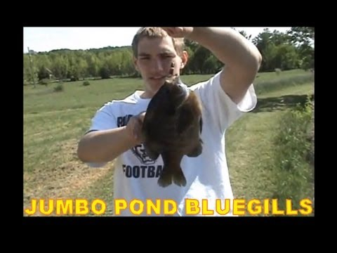 POND FISHING JUMBO BLUEGILLS