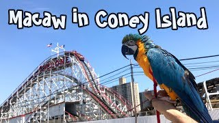 Rachel Blue and Gold Macaw - Visiting Coney Island Amusement Park