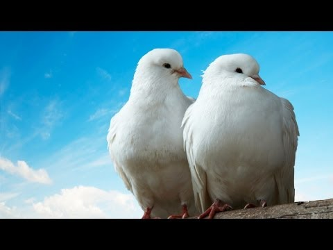 , title : 'What Is a Dove Like as a Pet? | Pet Bird