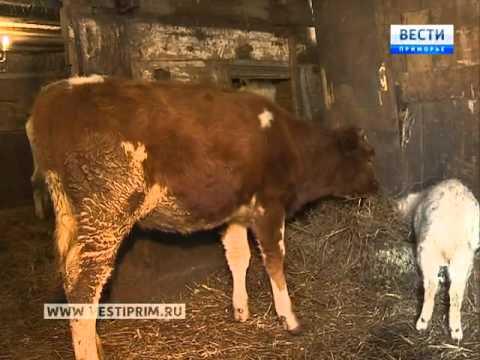 В Приморье многодетная семья в День матери получила в подарок корову