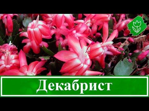 Цветок Декабрист — приметы о смерти, тайных врагах и мире в доме