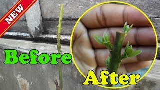 Grafting Avocado Tree Before and After RESULT VIDEO by Grafting Examples