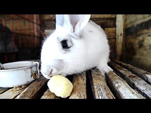 Можно ли кроликам давать картошку / КРОЛИКОВОДСТВО