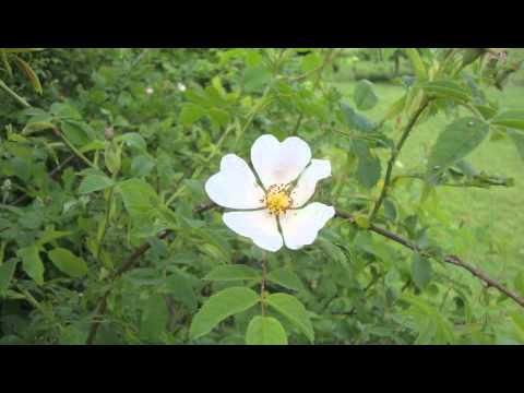 "Joseph Haydn - ""Rose rot, Rose weiss""  - Fritz Wunderlich"