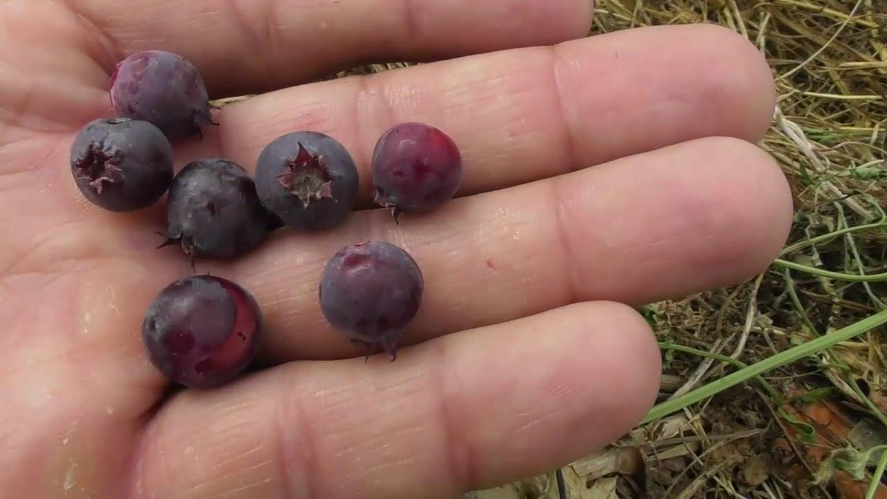 Ирга канадская сорт Smokey - первый урожай