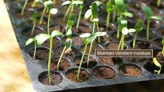 How To Plant And Grow Cucumber