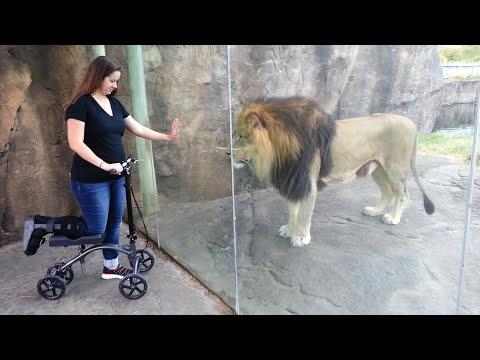 Lion meets a scooter