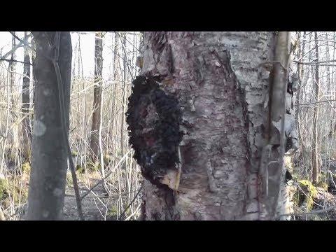 Березовый гриб Чага: мои рекомендации, примеры