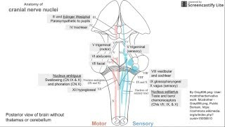 Anatomy of Cranial Nerve Nuclei