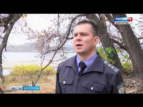 В Волгоградской области обнаружен карантинный объект - ясеневая изумрудная златка
