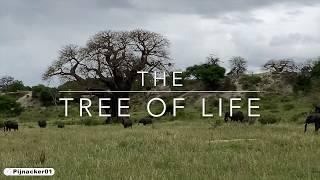 Baobab Tree Legends of Africa