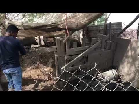 Como se mata un cerdo en Mexicali
