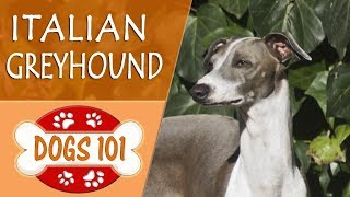 Dogs 101 - ITALIAN GREYHOUND - Top Dog Facts About The ITALIAN GREYHOUND