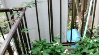 生い茂るドクダミ