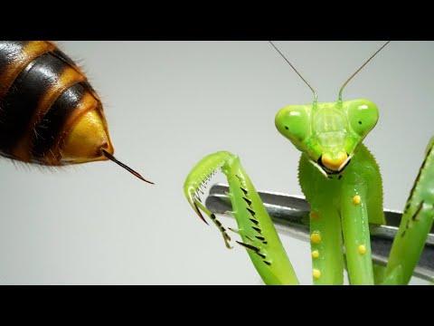 , title : 'カマキリにスズメバチの毒を入れると…