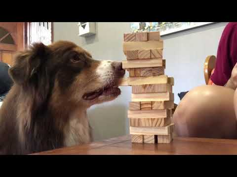 כלבה משחקת ג'נגה בשיא הזהירות