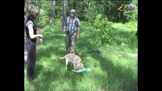 Смотреть онлайн Дрессировка щенка лабрадора в домашних условиях