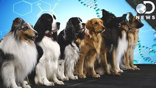 How Are New Dog Breeds Created?