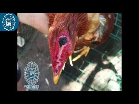 Investigado por maltrato animal con un criadero de gallos de pelea