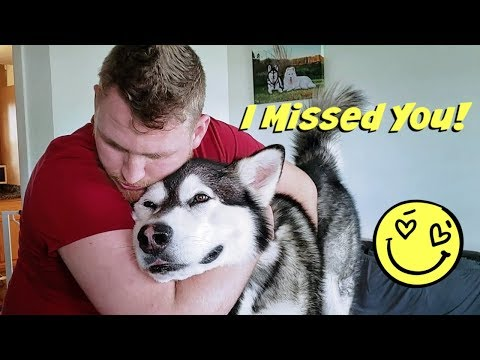 Malamute & Husky Reunited With Best Friend They Howl Together   Husky Goes Crazy