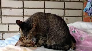 Кошка мать вылизывает сына