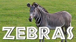 Zebras for Kids: Learn all About Zebras - FreeSchool
