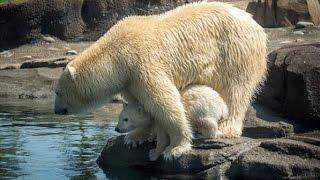 Polar Bear Cub Makes Public Debut