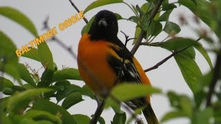 60 Seconds of the Baltimore Oriole