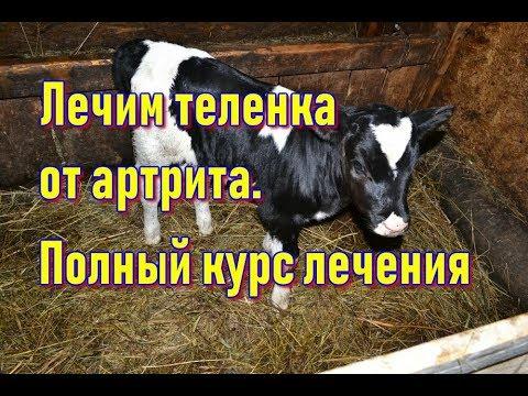 Лечение теленка от артрита. ВНИМАНИЕ - не повторяйте это лечение без консультации ветврача!!!