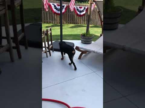 Rottweiler Doesn't Like American Flag