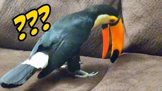 Pet Toucan digs for couch gold!