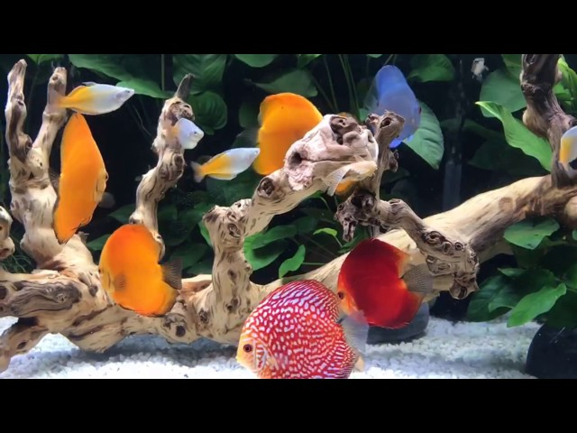 Client's 280 gallon discus fish tank by Wattley Discus